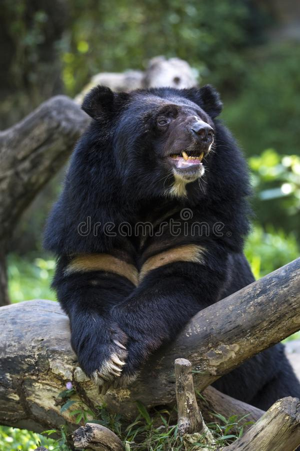 Horse bear. The motThis Horse bear has a similar appearance to its better-known American relative the American black bear, Ursus americanus with a stocky body royalty free stock photography