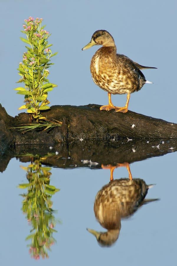 mottled утка стоковое фото