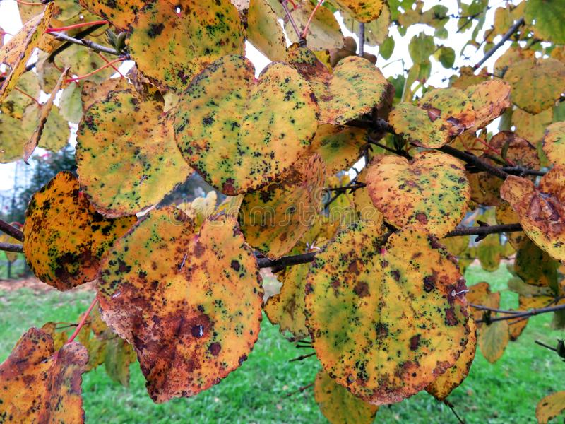 Mottled Autumnal Leaves. Photo of orange mottled autumnal leaves in washington dc during october royalty free stock photography