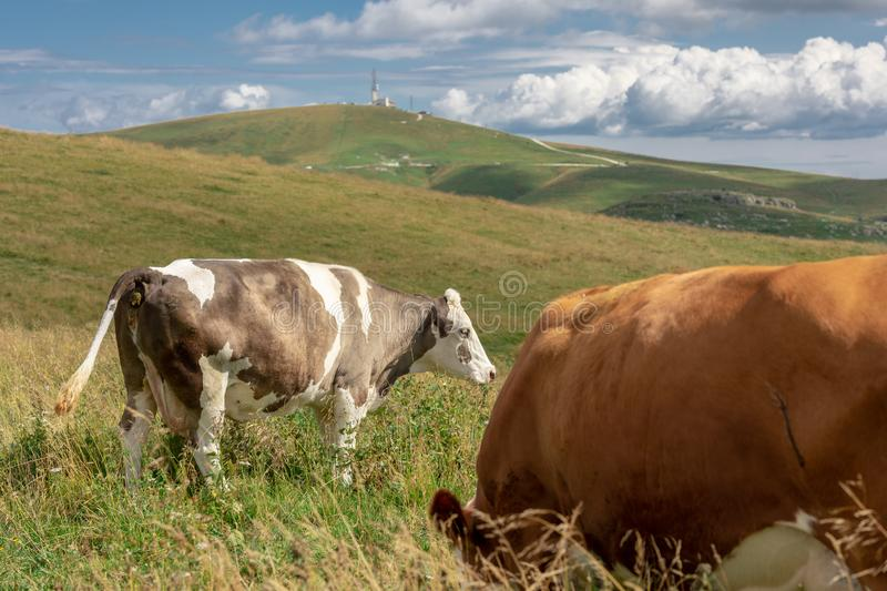 Mottled cows in the meadows. Mottled cows posing in the meadows royalty free stock photography