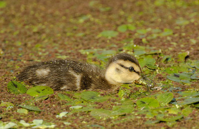 Mottled duck, duckling swimming royalty free stock image