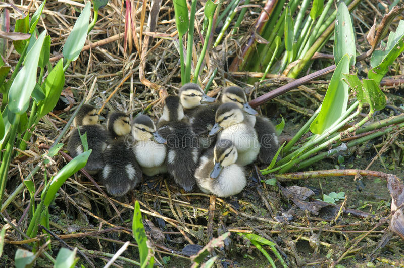 Mottled Duck ducklings royalty free stock photography