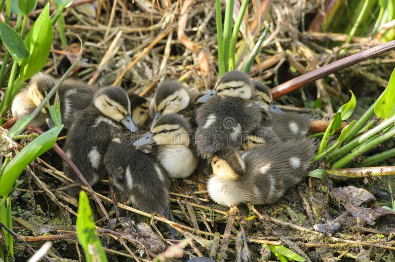 Mottled Duck ducklings royalty free stock images