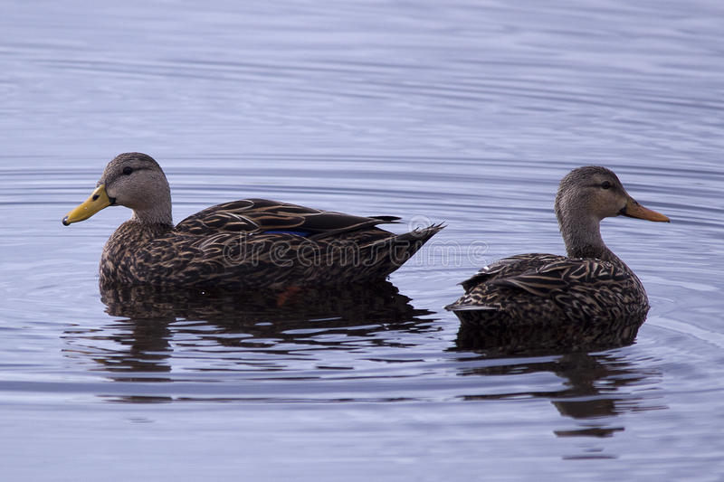 Mottled ducks. A pair of mottled ducks swimming in the water at the Viera Wetlands royalty free stock photography