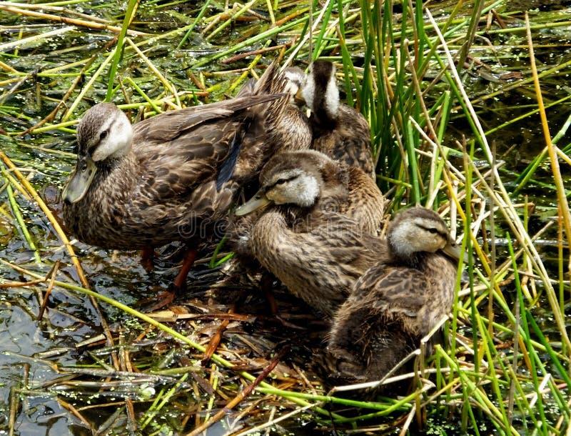 mottled fulvigula утки anas стоковая фотография rf