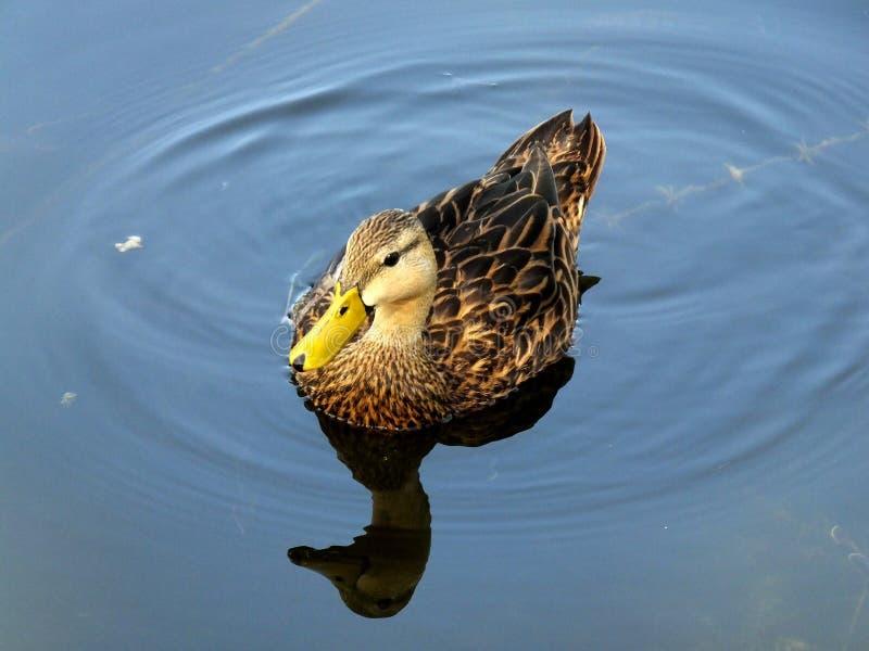 mottled fulvigula утки anas стоковое изображение