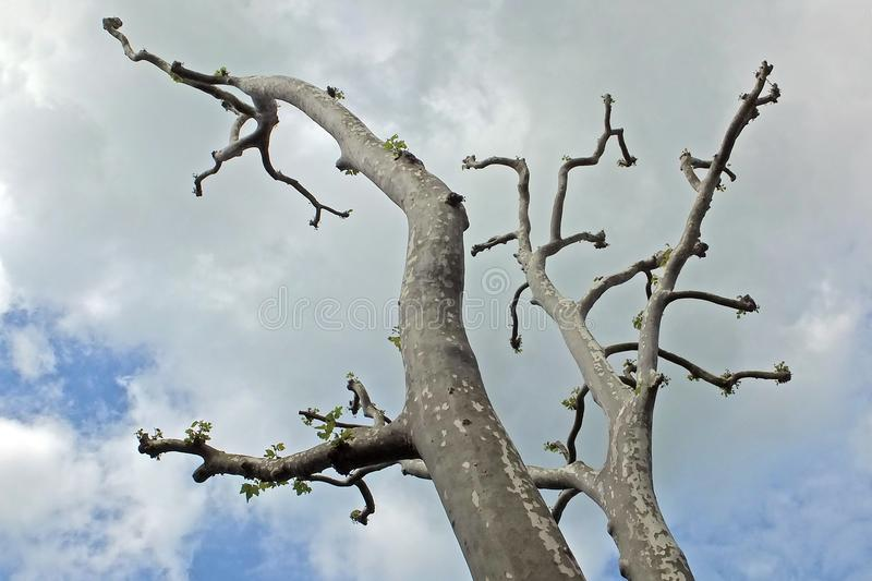 Mottled grey branches. Of a tree against a cloudy sky stock photography