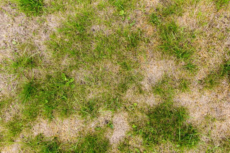 Mottled pattern of a patchy lawn. Background of a patchy lawn or grass with weeds making a green and brown mottled pattern royalty free stock images