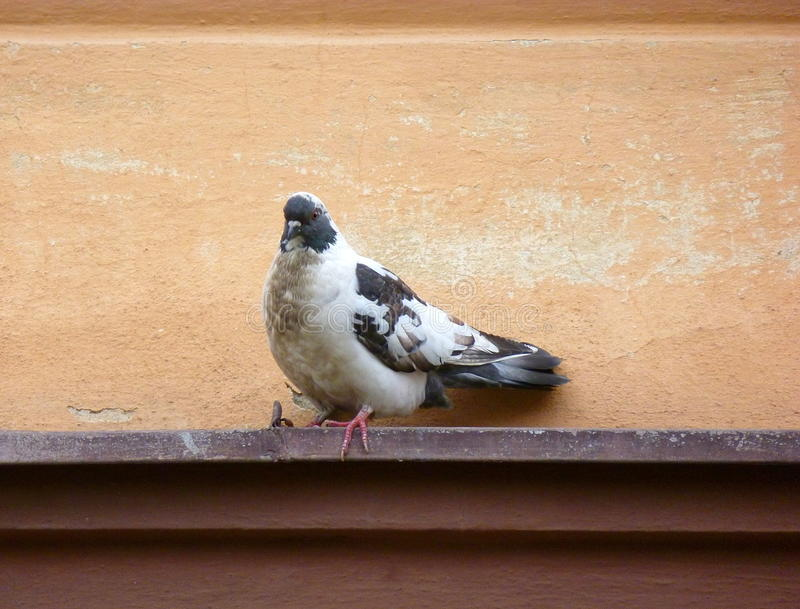 Mottled pigeon sitting on a ledge stock photography