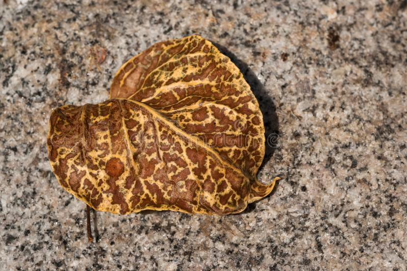 Mottled Poplar Leaf on granite. A nicely mottled poplar leaf is laying on a granite rock showing that fall will be here soon royalty free stock photography