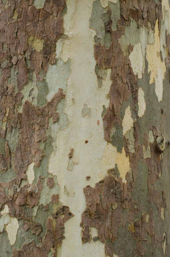Mottled Sycamore Tree Bark And Trunk Background Or Texture, Close-up royalty free stock image