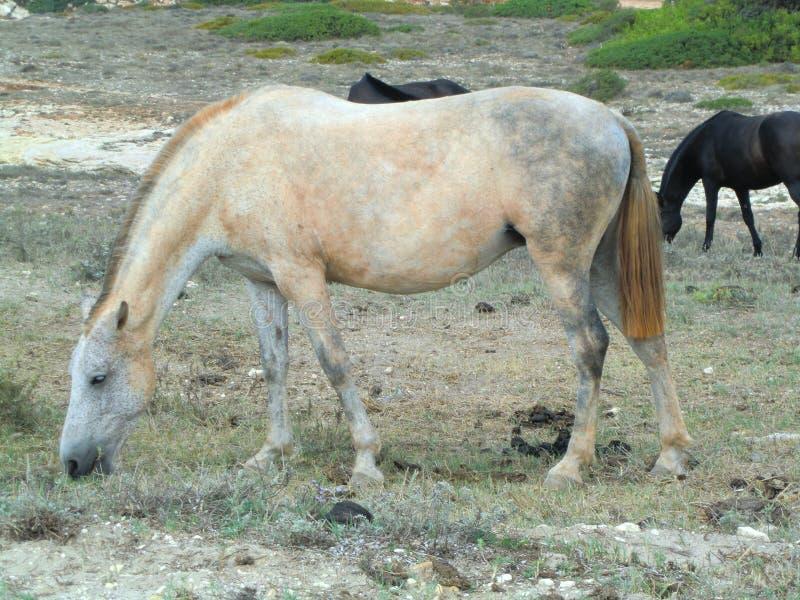 Mottled white horse grazing dry grass stock image