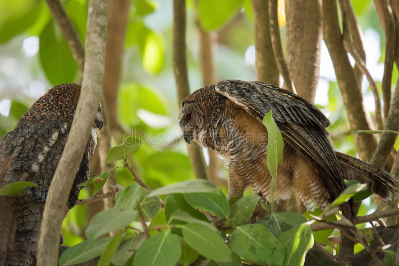 Mottled wood owl. Pair of Mottled wood owl perched and staring at Gir Forest royalty free stock photography