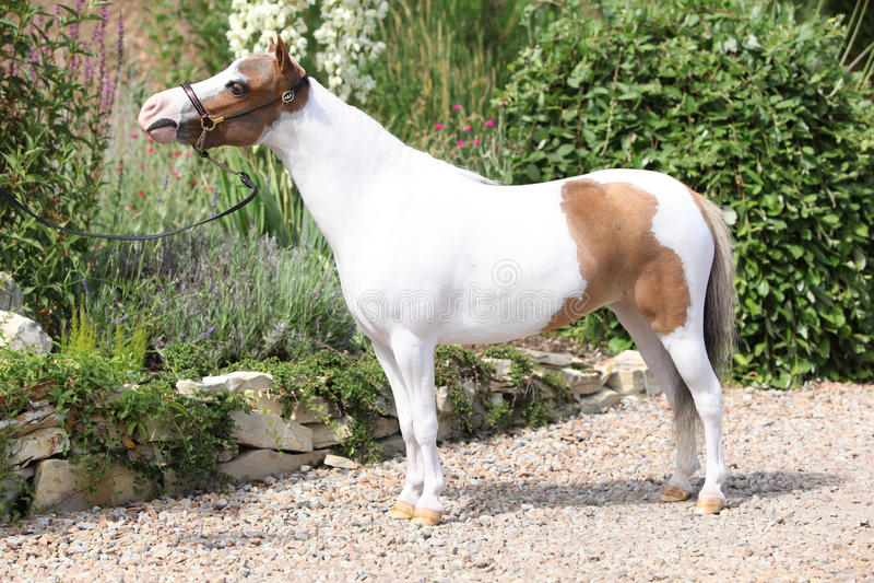 Mottleminiatyrhäst i trädgården arkivbilder