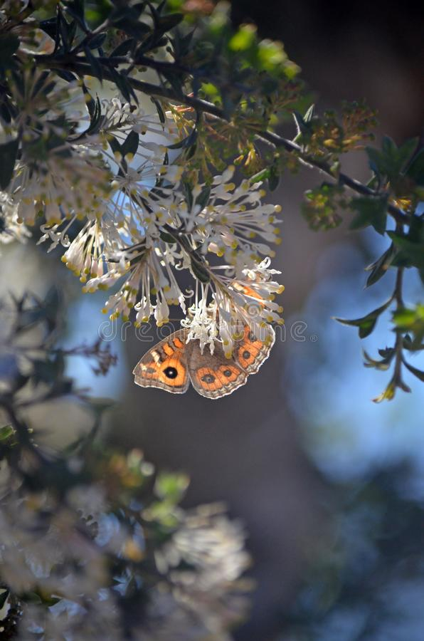 Motyl łąkowy na białych kwiatach Grevillea obraz stock