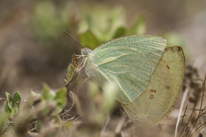 Motyl, Żyłkowany emigrant - Catopsilia pyranthe Matować po koperczaki obrazy stock