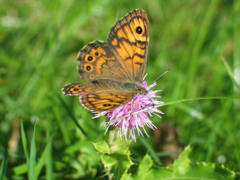 Download Motyl zdjęcie stock. Obraz złożonej z punkty, kwiat, trawy - 32314