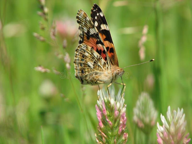 Motyl (1) fotografia royalty free