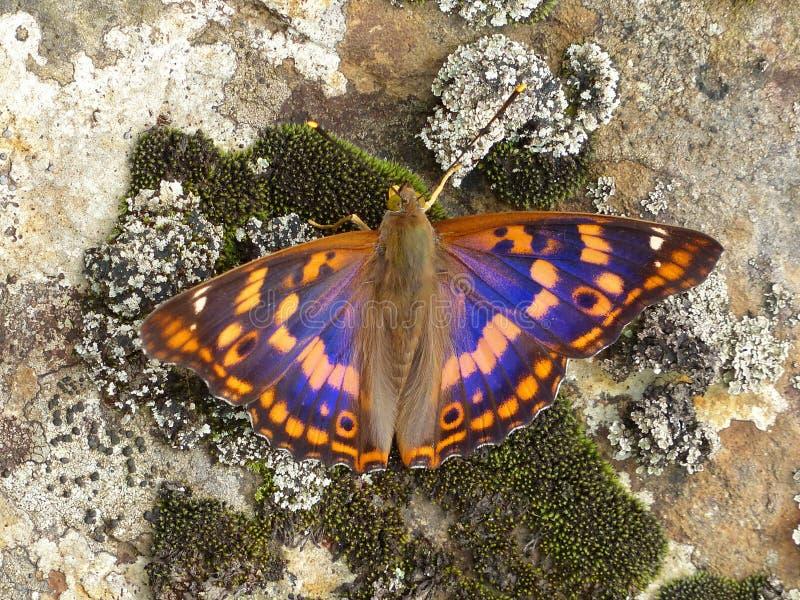 Motyl Apatura metis obraz stock