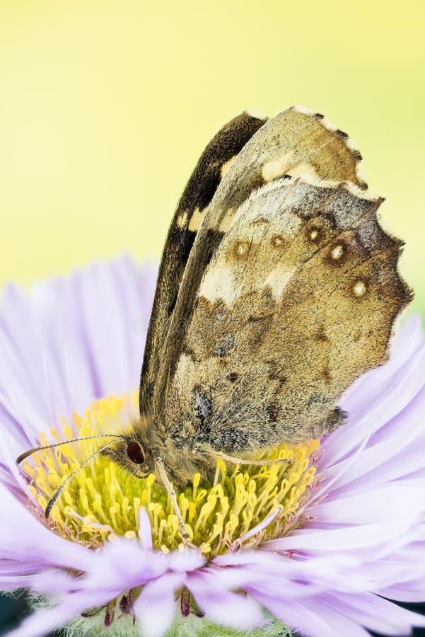 Motyl - Cętkowany drewno, Pararge aegeria zdjęcia royalty free