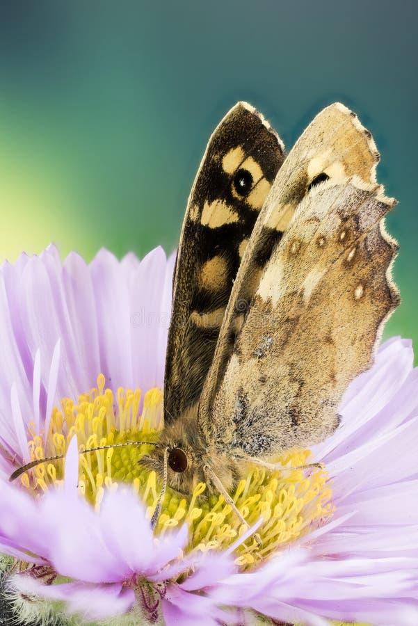 Motyl - Cętkowany drewno, Pararge aegeria fotografia royalty free