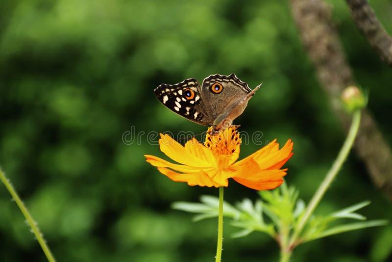 Motyl całuje kwiatu obraz royalty free