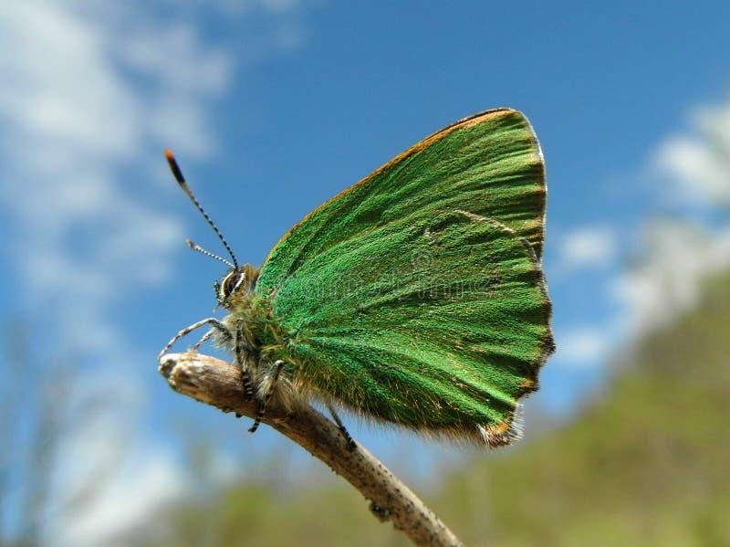 Motyl Callophrys rubi obrazy royalty free