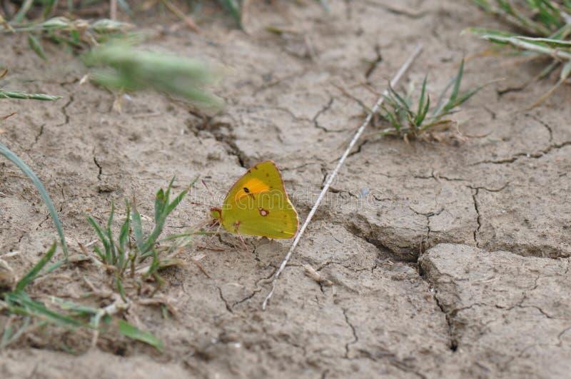 motyl chmurniejący kolor żółty zdjęcia royalty free