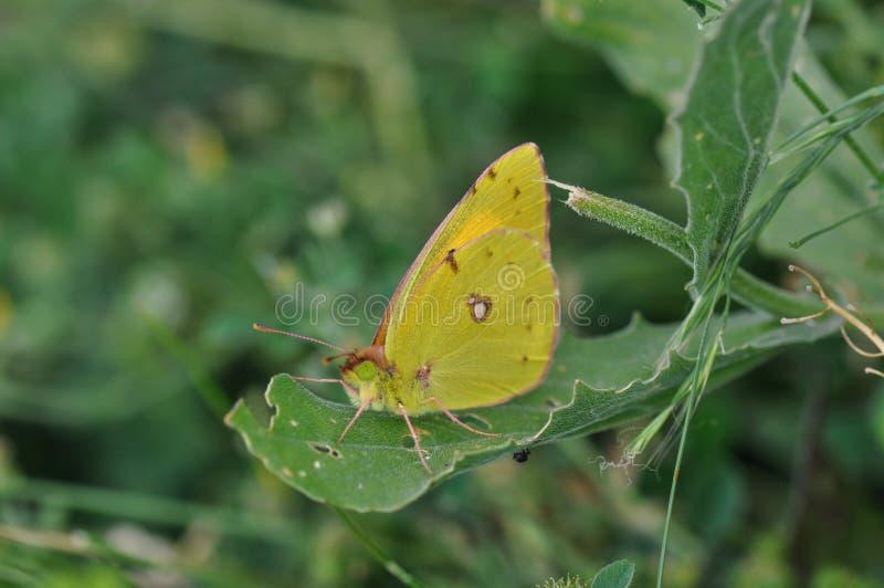 motyl chmurniejący kolor żółty zdjęcie royalty free