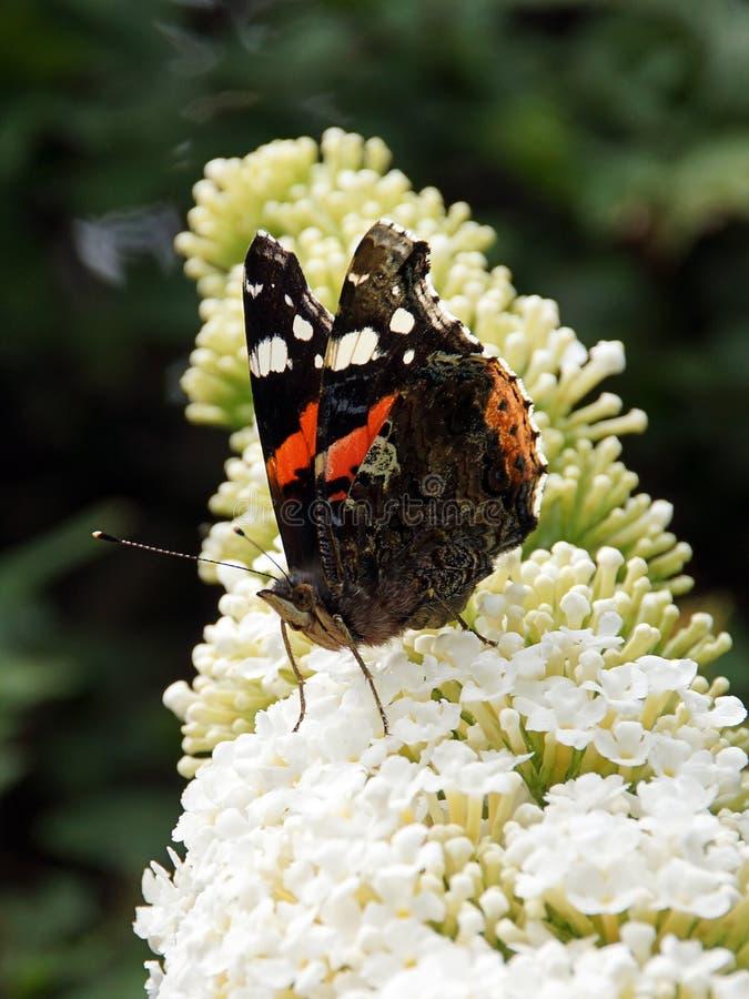 Motyl czerwony zdjęcie stock