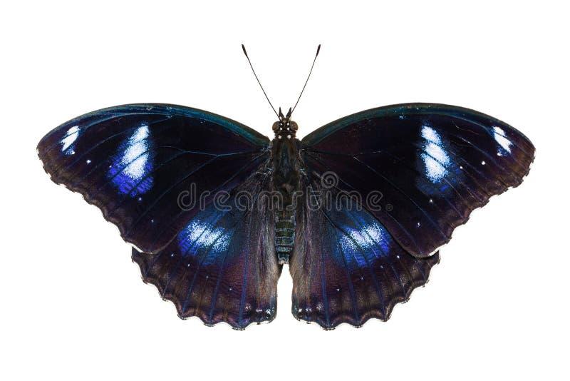 motyl eggfly wielki obraz stock