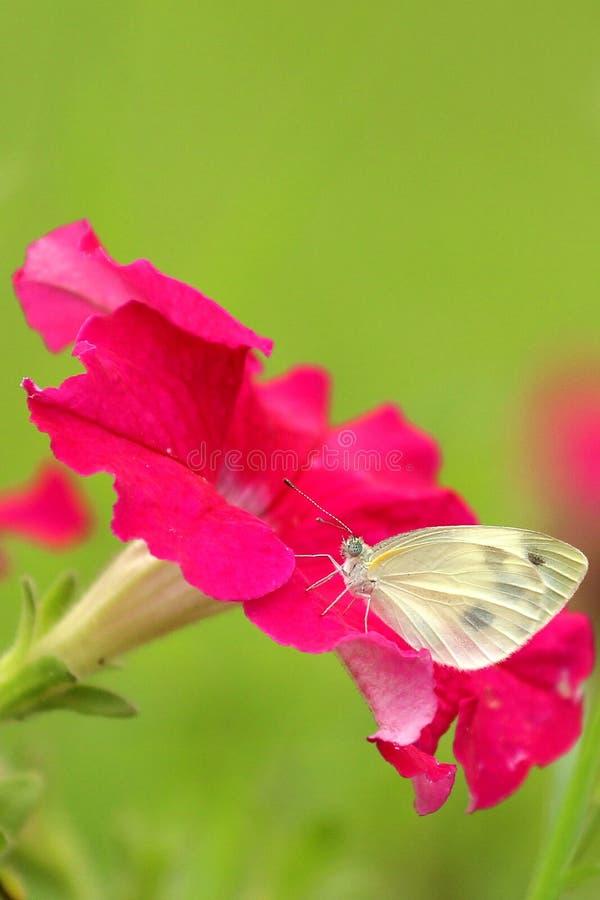 Download Motyl i kwiat obraz stock. Obraz złożonej z menchie, motyl - 57659101