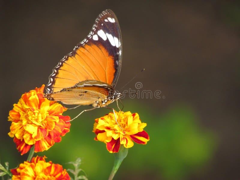 Motyl, kwiaty i przecinający zapylanie, obraz royalty free