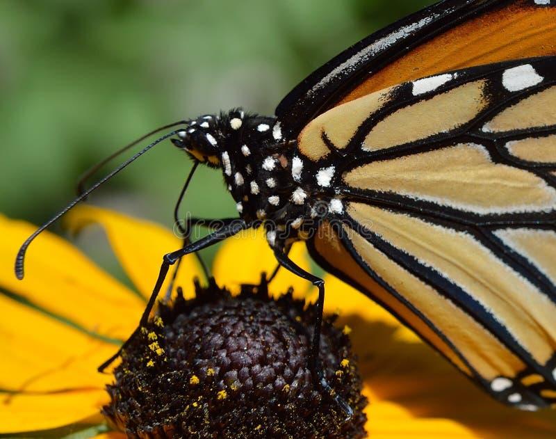 Motyl monarcha-motyl makrojÄ™zyczny wyÅ›lizgujÄ…cy nektar kwiatowy obrazy stock