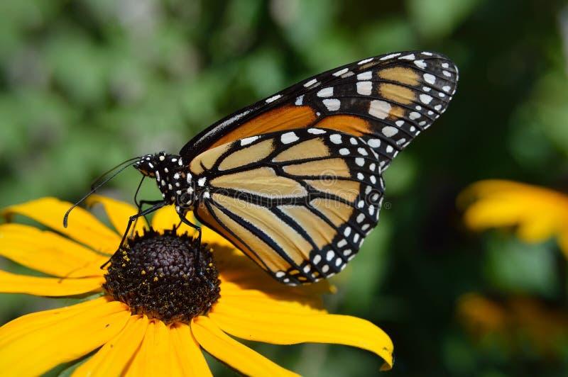 Motyl monarcha-motyla-gÄ™si-zaroÅ›la obrazy royalty free