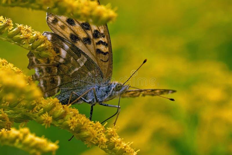 Motyl Myjący Fritillary Argynnis paphia w zakończeniu zdjęcia royalty free