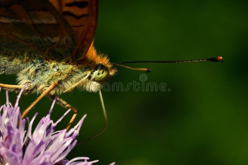Motyl Myj?cy Fritillary Argynnis paphia obraz stock