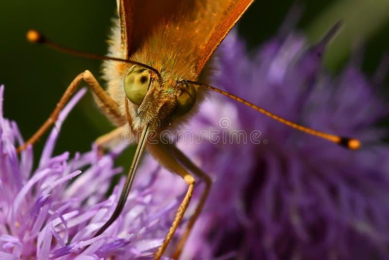 Motyl Myj?cy Fritillary Argynnis paphia zdjęcie stock