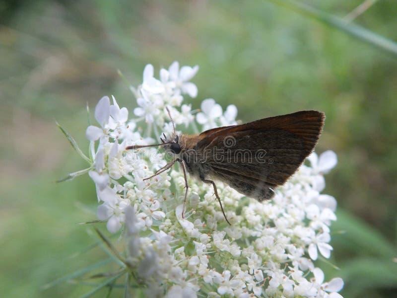 Motyl na białym kwiacie zdjęcie stock