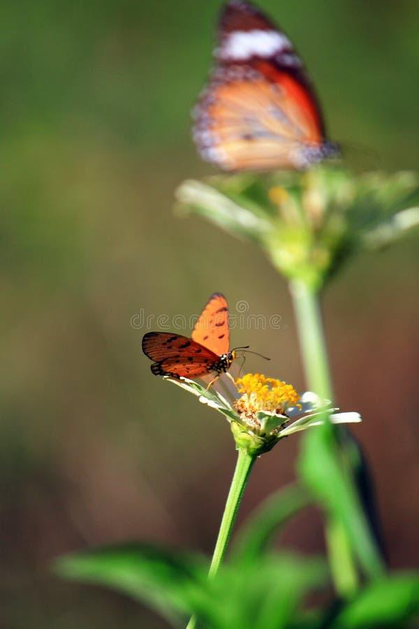 Motyl Na Białym kwiacie zdjęcie royalty free