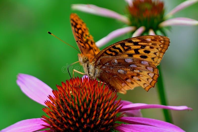 Motyl na coneflower zdjęcie royalty free
