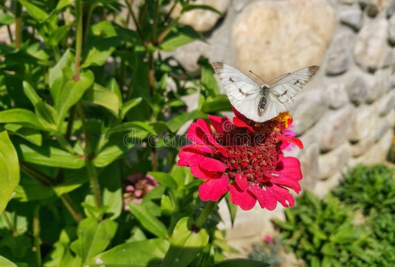 motyl na cynia kwiatu głowie zdjęcia royalty free