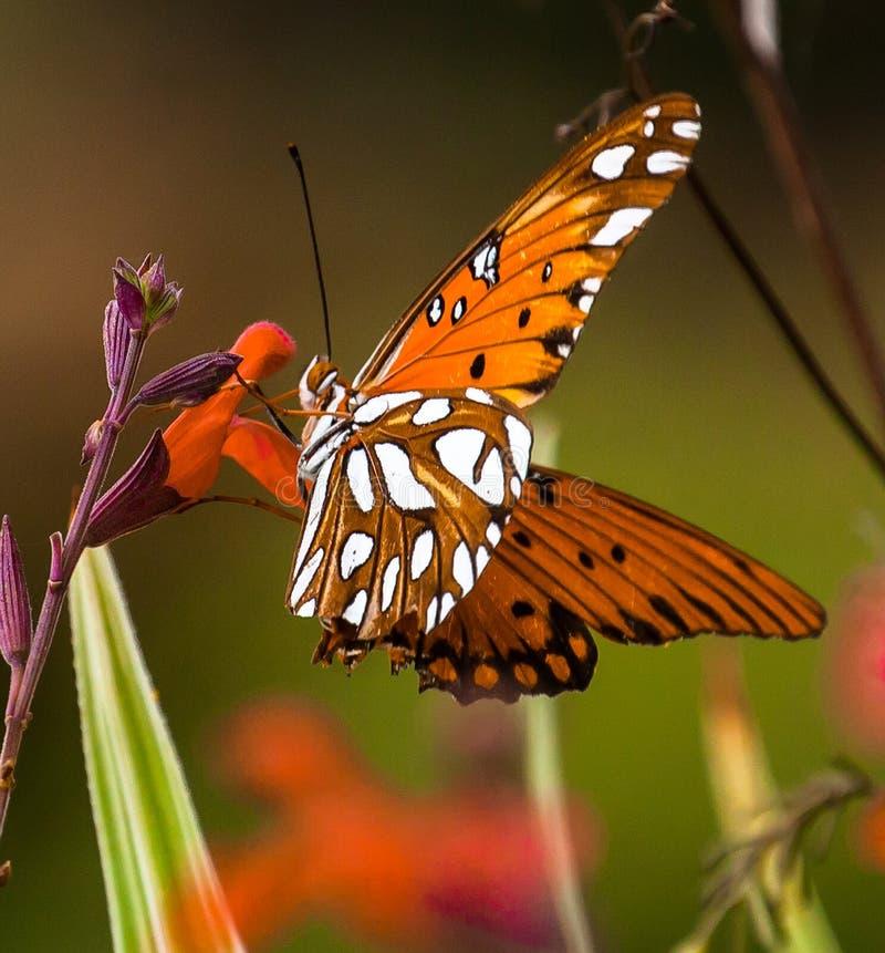 Motyl na czerwonym kwiacie obraz royalty free