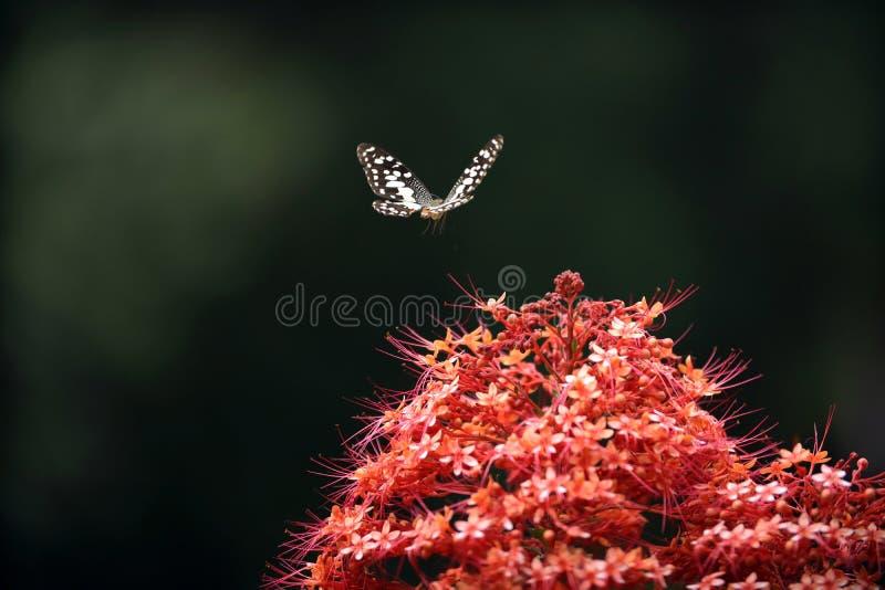 Motyl na czerwonym kwiacie obrazy royalty free