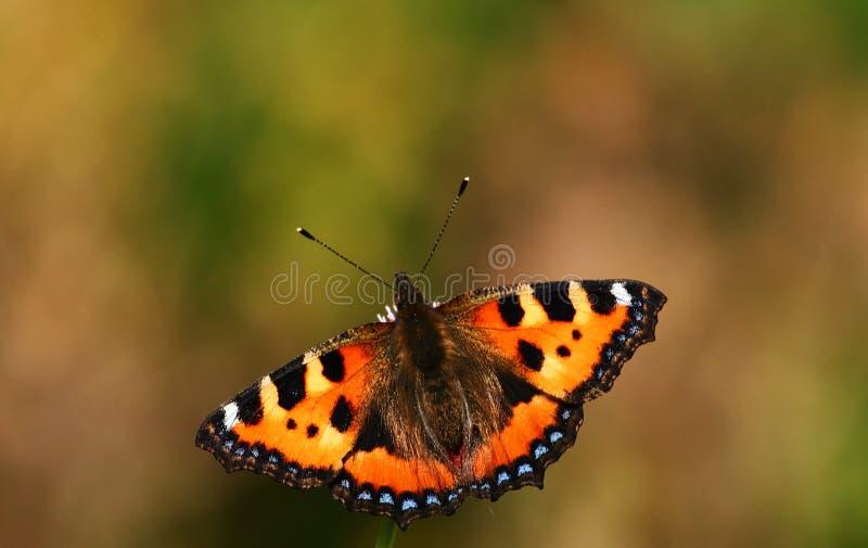 Motyl na dzikim kwiacie fotografia stock