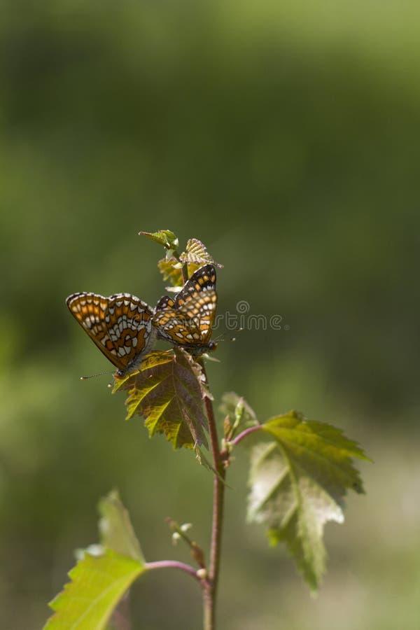 Motyl na gałęziastym zakończeniu w górę obraz stock