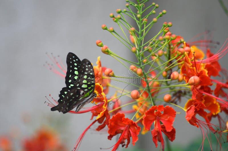 Motyl na gulmohar zdjęcia royalty free