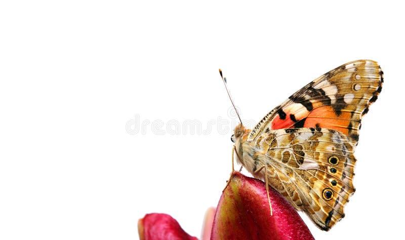 Motyl na kwiacie pi?kny motyl malowa? damy na kwiacie odizolowywaj?cym na bielu Motyl i leluja obrazy royalty free