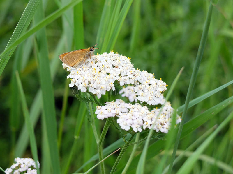 Motyl na kwiatu krwawniku obrazy royalty free