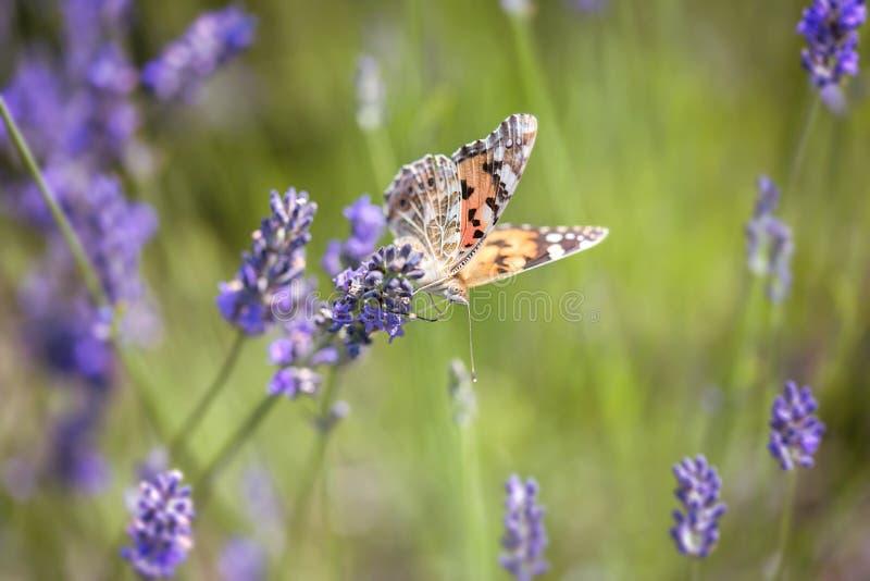 Motyl na lawendowym kwiacie zdjęcie stock